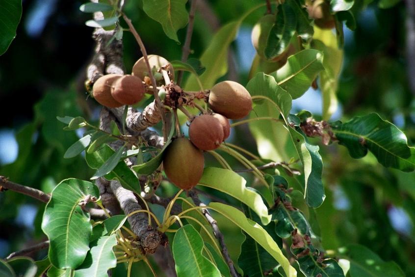 Butyrospermum Parkii Shea Tree - Sheatre